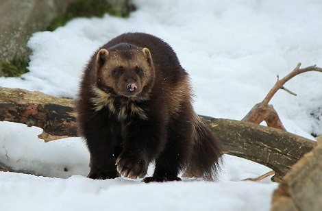 wolverine featured image